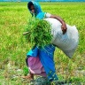 IRRI_Bangladeshi-Rice-Farmer-closeup