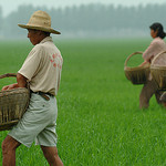 Rice farmers in China fertilize their rice crop