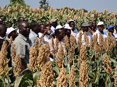Sorghum in Africa