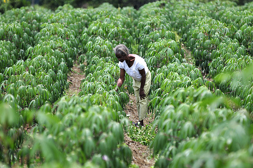 Cassava production in Colombia's southwestern Cauca department (Photo: Neil Palmer/CIAT)