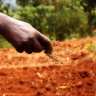 Farmer in North Kenya sows fertilizer after planting potatoes. (Picture courtesy Peter Casier)