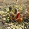 Indian sorghum farmers
