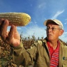 A maize researcher (Ph. Neil Palmer)