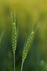 Spikes of improved wheat growing in Pakistan