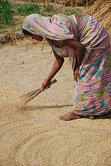 Drying wheat in Bihar, India