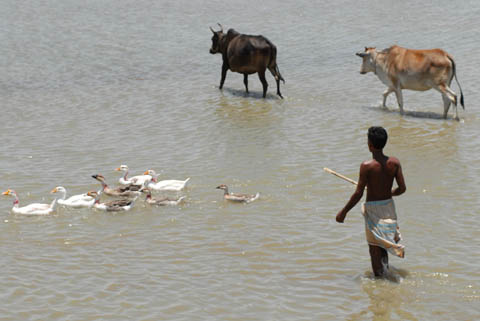 Bangladesh fisherman with cattle