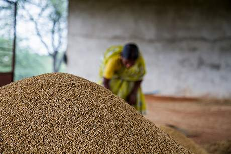 Woman with a recent harvest of rice in the rainfed village of Gorita, Andhra Pradesh, India - photo credit: F. Fiondella (IRI/CCAFS)