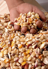 A handful of maize