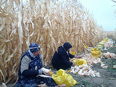 Hybrid maize harvest in Iran