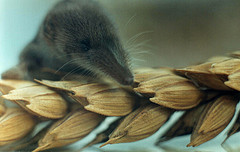 The worlds second-smallest mammal on the worlds second-most consumed food!