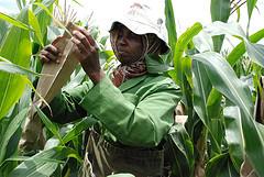 Hand pollination of maize at Kiboko, Kenya