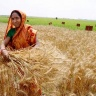 Farmer harvests wheat experiment, Bangladesh.  (Photo: T. Krupnik/CIMMYT)