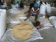 Maize seed in Zambia