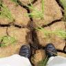 rice drought IRRI images http://www.flickr.com/photos/ricephotos/2529466333/