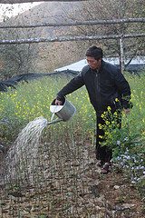 Vietnamese farmer watering Son tra seedlings