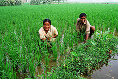 Farmers in a rice field in Bangladesh. Photo by WorldFish, 2010.