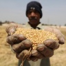 A farmer holds out wheat grains