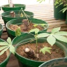 Cassava ministem cuttings in screening pots - IITA