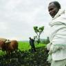 Ploughing with cattle in southwestern Ethiopia. Photo: ILRI/Stevie Mann