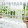 Samples of tropical forages conserved in vitro at CIAT gene bank in Colombia. Pic by Neil Palmer (CIAT)