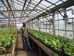 Researcher, a PhD student checks on banana seedlings at DRC