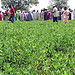 Improved groundnut and millet varieties showcased in Bauchi State, Nigeria