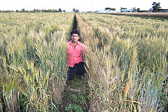 Rust-resistant wheat makes a happy breeder