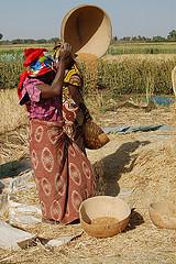 Heat-tolerant wheat grown in northern Nigeria
