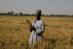Improved wheat boosts domestic production in Nigeria