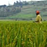 Rice farmer in Rwanda. Photo: IRRI/Flickr