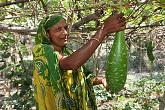 A farmer showing a bottle gourd at her vegetable farm in Jessore, Bangladesh. Photo by M. Yousuf Tushar.