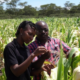 Angola Fast-Tracks New Drought-Tolerant Maize Varieties