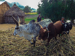 Threshing beans in Ethiopia
