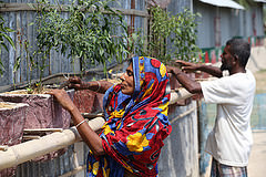 Maherunness and her hasband growing chillies at her climate smart house in Satkhira, Bangladesh. Photo by M. Yousuf Tushar.
