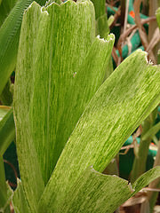 MLN-Infected Maize
