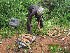 Farmer weighs cassava roots harvested from field