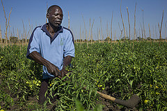 A man works in his vegetable field on the Barotse Floodplain, Zambia. Photo by Anna Fawcus.