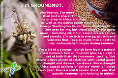 GROUNDNUT – answer to CROP QUIZ No 4: World Food Day 2014 #WFD2014