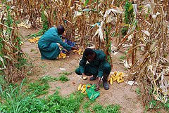 Sorting and selecting maize cobs for borer infestation