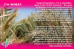 WHEAT – answer to CROP QUIZ No 8: World Food Day 2014 #WFD2014