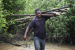 A man carrying mangroves in Abuesi village, Ghana. Photo by Anna Fawcus.