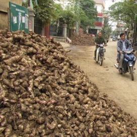 cassava_Vietnam1