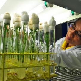 Dr. Shanta Karki studies rice plants being grown at IRRI's Biotech labs.