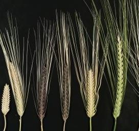 GD in 2 rows barley 2